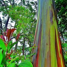 Eucalyptus Deglupta Mindanao Gum RAINBOW TREE Fresh 50+  Seeds