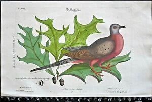 Catesby/Seligman,Sammlung,extinct Passenger pigeon,Strichtaube,handc.engr.c,1749