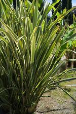 Kübel Pflanzen Bergflachs winterfeste Garten Staude pflegeleicht Phormium.
