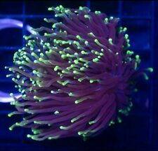 Torch Coral Frag Euphyllia -PRICED PER HEAD/POLYP- Buy 2 Get 1 FREE !