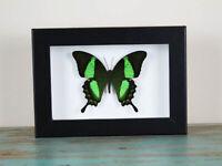 Papilio pallinurus in a Black Frame