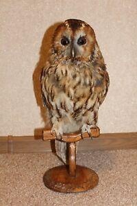Professional Taxidermy Owl Premium (Strix aluco)