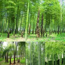100Pcs Seeds Phyllostachys Pubescens Moso-Bamboo Seeds Garden Plants Decor