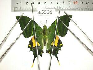 SK5539 # Unmounted Butterfly Teinopalpus imperialis North Vietnam