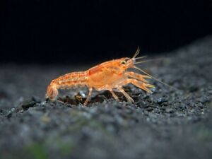 2 Orange Mexican Dwarf Crayfish Lobster