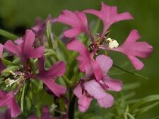 A 0.5g (approx. 1500) deerhorn clarkia seeds ARIANNE pinkfairies, easily grown