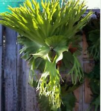 Staghorn Fern (Platycerium superbum) Fresh Spores (Seeds) indoor plant! Rare!