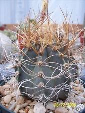 Astrophytum senile aureum rare cactus seed cacti seeds 20