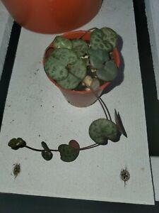 Boutures Thai Cha-OM 3 pcs Senegalia PENNATA miracle rare légumes tropicaux