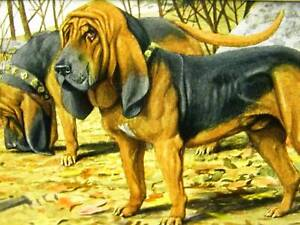 Agassiz Fuertes 1919 BLOODHOUNDS Dog Art Print Matted