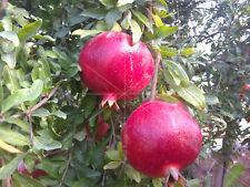 5 x Pomegranate cuttings, Holy Land