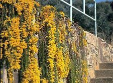 RARE 5 graines de MIMOSA COUTEAU(Acacia Cultriformis)H167 KNIFE WATTLE SEEDS