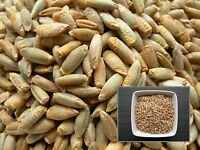 Seigle - Secale Cereale L. - Rye - ( Engrais vert - Green manure ) - SEM06