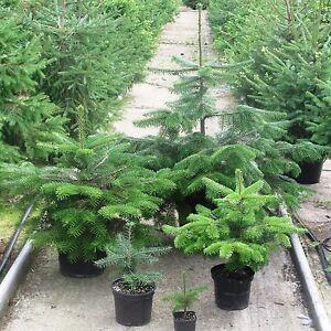 Real Nordman Fir,Nordmann Fir, Container Grown Living Christmas Tree