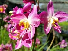 Purple Yellow Ground Orchid Plant Terrestrial Philippine Shade Garden