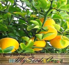 (5) Hardy Orange Seeds - Poncirus trifoliata -  Edible Fruit - Combined S&H
