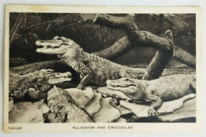 Vintage Postcard London Zoo Alligator And Crocodiles Reptiles Posted 1956