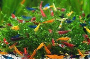 10+1 Neocaridina MIX 4 colours freshwater aquarium shrimp Size approx 10-15mm