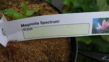 """Magnolie  Mangolia """"Spectrum"""" winterharte Magnolie ca. 80 - 100 cm"""
