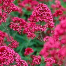 Red Valerian - Centranthus Ruber - 100 Seeds -Striking insect attracting flowers