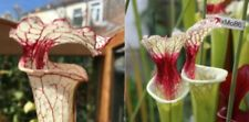 2019/GH/05 Sarracenia Carnivorous Plant Fresh Seeds UK Rare Cross