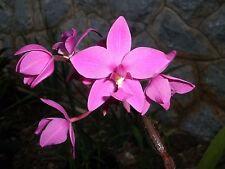 Spathoglottis Plicata, lavender natural species.