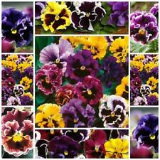 Pansy Can Can 100 seeds for your flower garden delightfully ruffles flowers