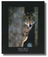 Grey Wolf Wildlife Series In Wilderness 8x10 Wall Art Print Picture