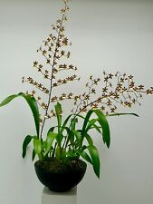Odontoglossum Tropic Breeze ´Everglades Tree´ Wilsonara NEW Orchidee Orchideen