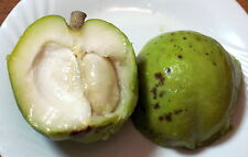 ***7 fresh  SEEDS***CASIMIROA EDULIS***WHITE SAPOTE*MEXICAN APPLE*free shipping*