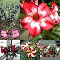 20Pcs Adenium Obesum Seeds Desert Rose Perennial Flower Plant Garden Bonsai HOT