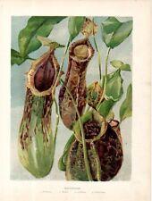 Stampa antica fiori NEPENTHES Pianta carnivora carnivorous 1896 Old print flower