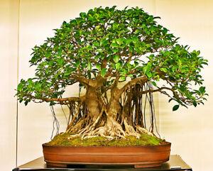 Indian Banyan Bonsai Ficus benghalensis Tropical House Plant 15 Fresh Rare Seeds