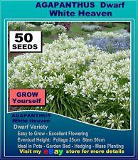 AGAPANTHUS: White Heaven - 50 Seeds Pk