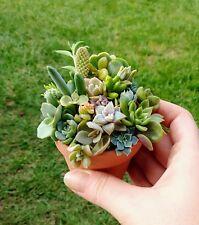 Succulent mini Cuttings (10) for Fairy rare echeveria crassula sedum kalanchoe