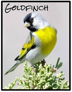 GOLDFINCH - NOVELTY SOUVENIR FRIDGE MAGNET - BIRDS OF THE WORLD / NEW / GIFTS