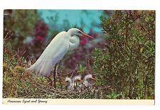 American Egret Nest of 3 Chicks Everglades National Park Florida Postcard