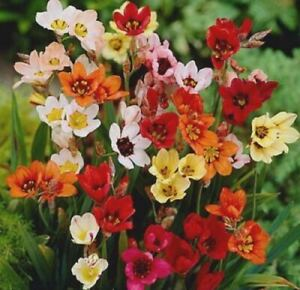 25 SPARAXIS FLOWERS BULBS MIX COLOURS PERENNIALS PLANTS SPRING/SUMMER FLOWERING