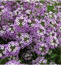 200 seeds Alyssum Purple flower organic attracts bees butterflies +gift