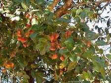 Copaiba Balsam Essential oil Organic.10 Ml