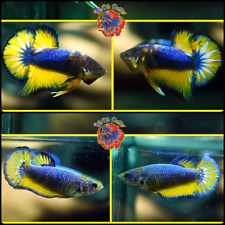 New listing Live Betta Fish -Breeding Pair- Fancy Blue Mustard Halfmoon Plakat #E442/ E444