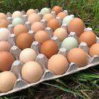 Americauna Hatching Eggs