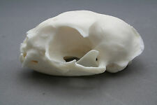 Cat Animal Skull Replica Taxidermy Study Unusual Halloween Ornament Witch Gothic