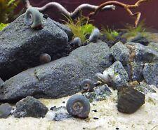 11+ Blue Ramshorn Snails   Aqauarium / Pond / Feeder Snails - Free Shipping!