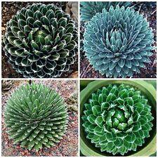 10 semillas de agave reginae victoriae, plantas suculentas,seed S