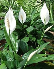 Peace Lily Plant Flowe Spathyphyllium Great HousePlant Indoor 4Pot Bets Gift New