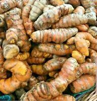 TURMERIC - 8 Fresh Roots (Curcumin, Juice, Tea, Spices, Good for Arthritis)