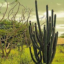 Mexican Organ Pipe Cactus Seeds (Stenocereus Griseus) 20+Seeds