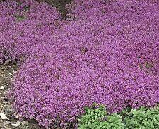 Fairy Garden x25 Herb Thyme Purple Creeping Dwarf seeds Fairy Garden, Herb Seed