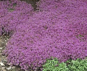 Thyme Purple Creeping Dwarf, approx: 1000  Seeds , Herb Seed